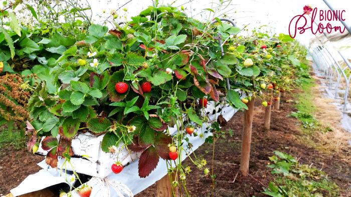 Farm Fresh strawberries at primrose vale farm